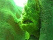 121203_giantfrogfish