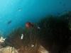 130126_anemonefish