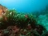 130126_anemonefish2