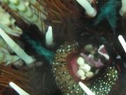 121127_fireurchin-shrimp