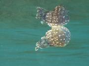 130222_skindive_jellyfish