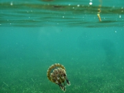 130222_skindive_jellyfish2