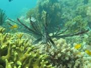 121116_blacklionfish