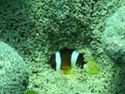 121205_hidden-anemonefish
