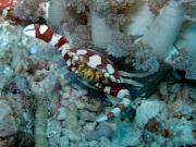 130318_harlequin-crab