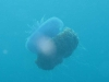 121105_jellyfish