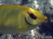 131119_gelber-kaninchenfisch
