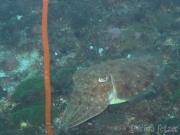 121218_cuttlefish-gato