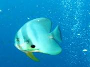 130710_batfish